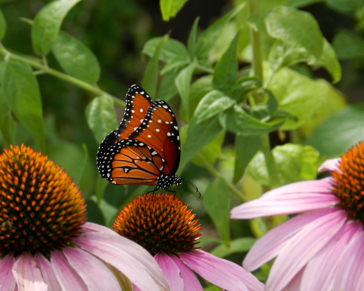 8x10 Queen and Coneflowers.jpg