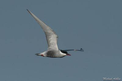 Whiskered Tern (Rare Australian Vagrant)