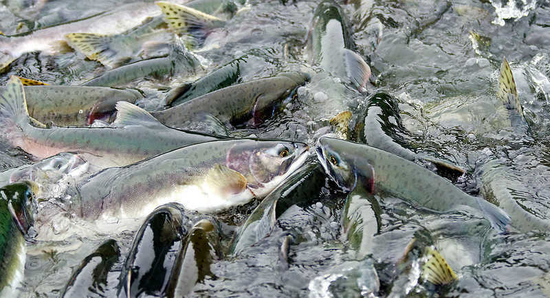 Salmon fight upstream toward their spawning grounds. Valdez, AK.