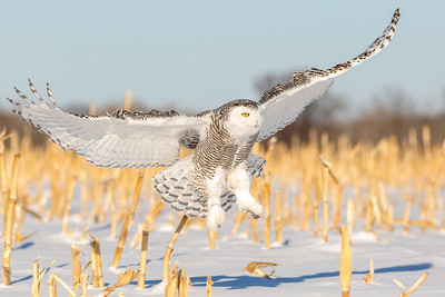 Minnesota Winter Owls