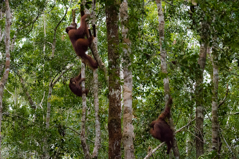 Orangutans climbing down from the jungle canopy.