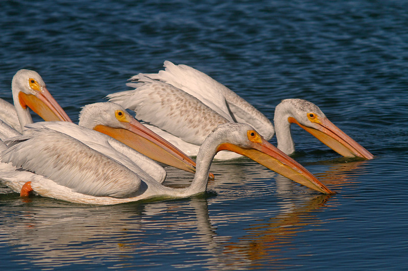WB~7DPelicans2dippingsideview1280.jpg