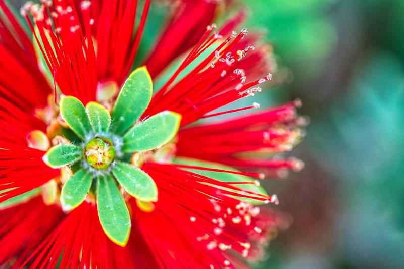 Crimson Bottlebrush Full Res-1.jpg
