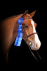 This classic and formal horse portrait was photographed at an equestrian event. This photograph shows off the 1st place ribbon the client had just won on her horse. As a Richmond pet portrait photographer, Robert Ranson will do special photograph editing such as this horse being superimposed onto a black background.