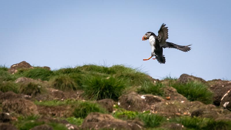 puffin landing -1380.jpg