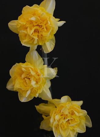 55th Upperville Garden Club Daffodil Show