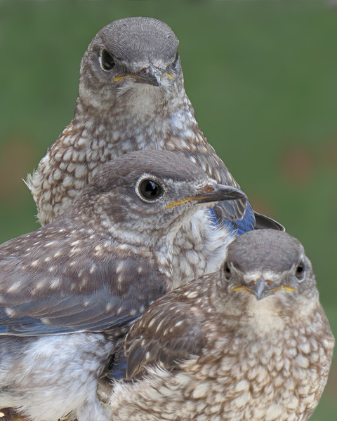 sx50_bluebird_fledgling_523.jpg