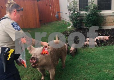 cedar-park-police-use-doritos-to-capture-escaped-pigs
