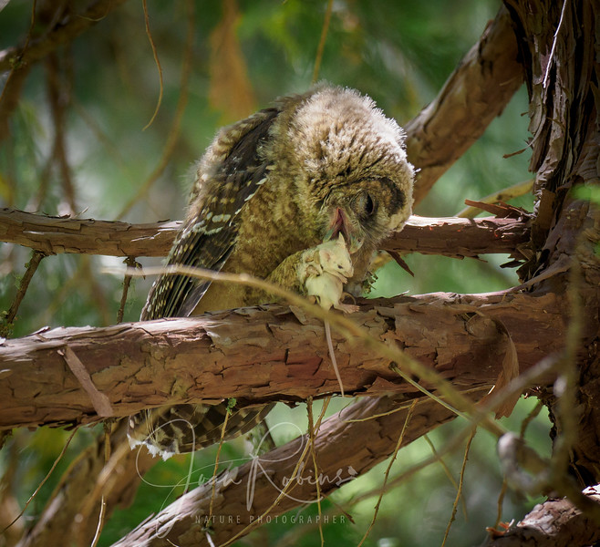 200712-Spotted Owls Butte County-7129769.jpg