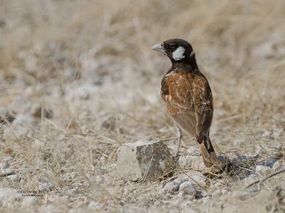 Chestnut-backed Sparrow-Lark(Eremopterix leucotis)