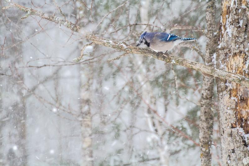 Blue Jay in snowfall Skogstjarna Carlton County MN-1675.jpg