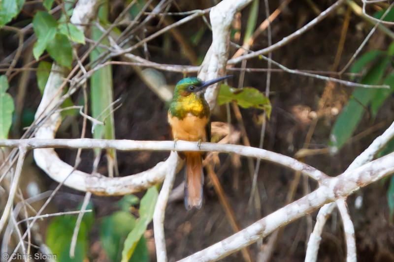 Bluish-fronted Jacamar at Juan Guerra, Tarapoto, Peru (07-04-2010)-55.jpg
