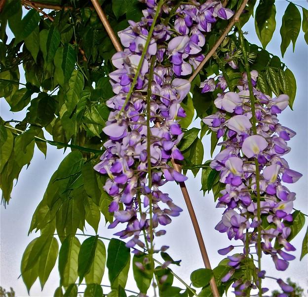 wisteriaforcontest.jpg