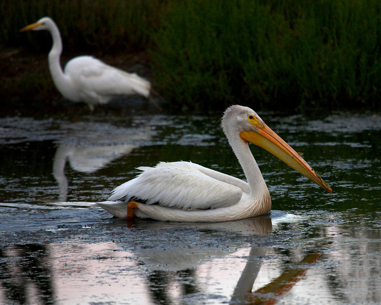 American White Pelican at dawn with Great Egret in BG