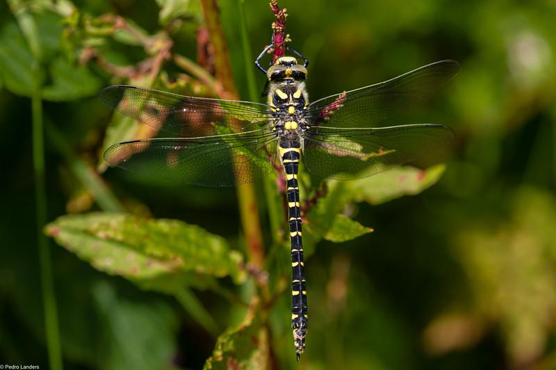 Golden Ring Dragonfly on Dock