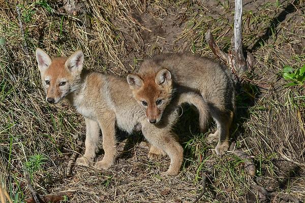 6-3-17 **Coyote Family