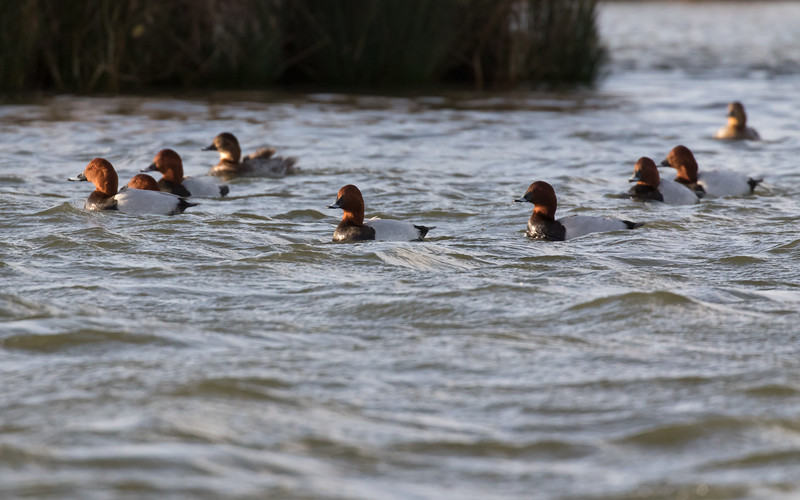 tafeleend, common pochard