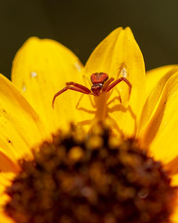#4 red Spider