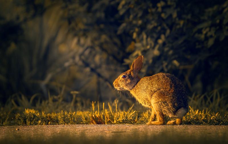 Florida Marsh Rabbit - 82.jpg