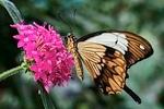 Butterflies Natural History Museum London
