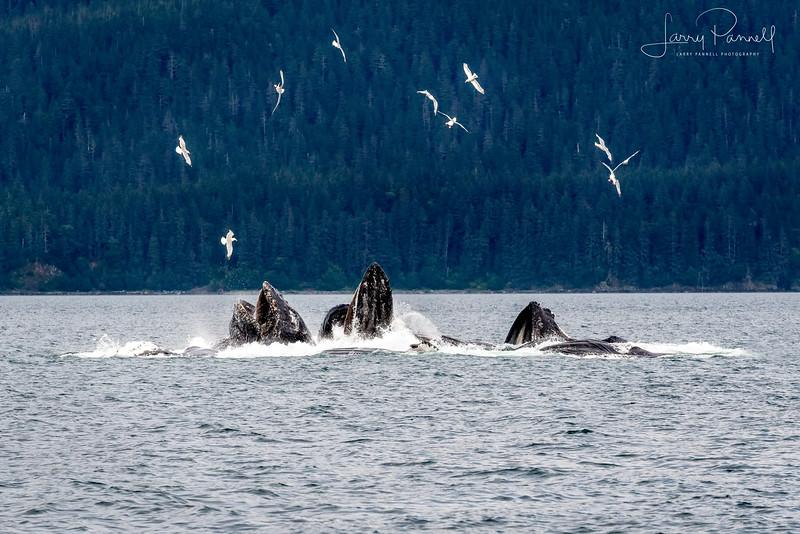 Bubble Net Feeding Humpback Whales
