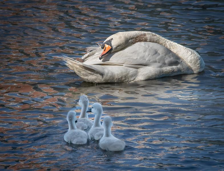 DSC_2963-Edit Swan dad and his four Cygnets.jpg