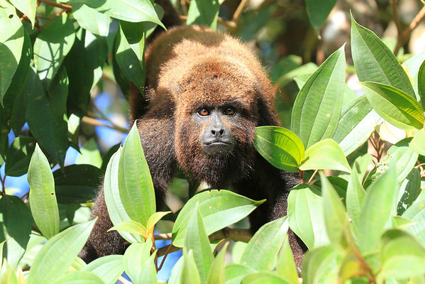 Brazil Red Howler , Capuchin and Marmoset 2013