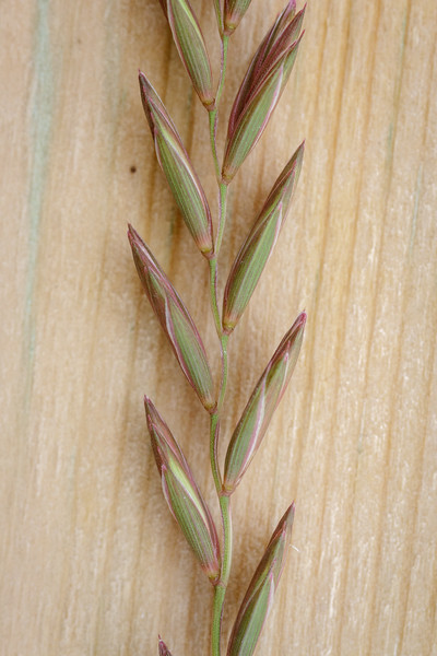 Kveke (Elymus repens)