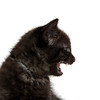Cute black kitten crying crying and showing teeth on white background