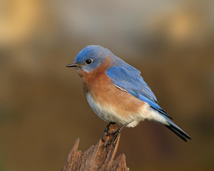 bluebird_1790.jpg