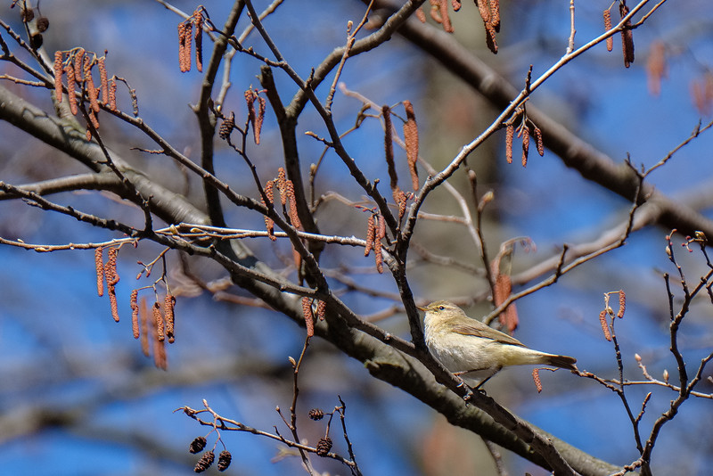 pierwiosnek | common chiffchaff | phylloscopus collybita