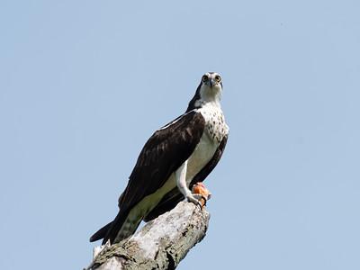 Osprey at Culler Lake, May 2021