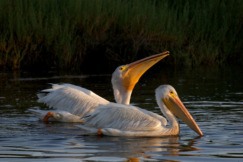 White Pelicans at sunrise