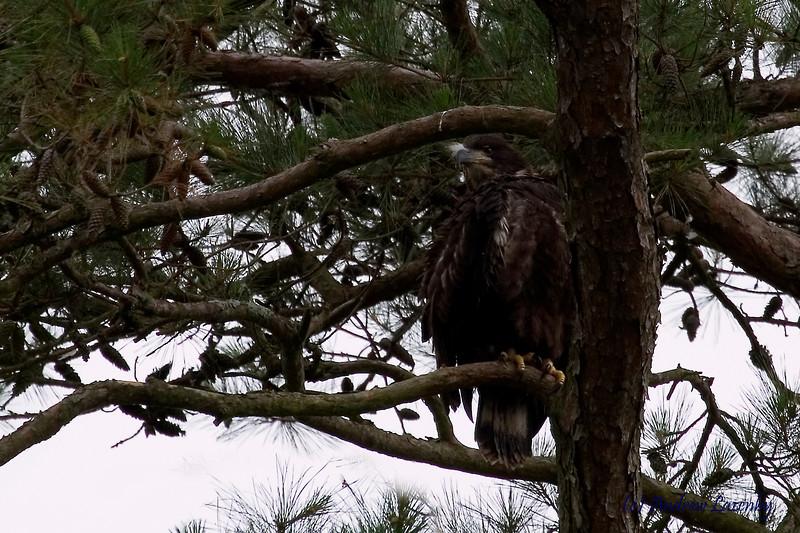Uncool Juvenile Eagle.jpg