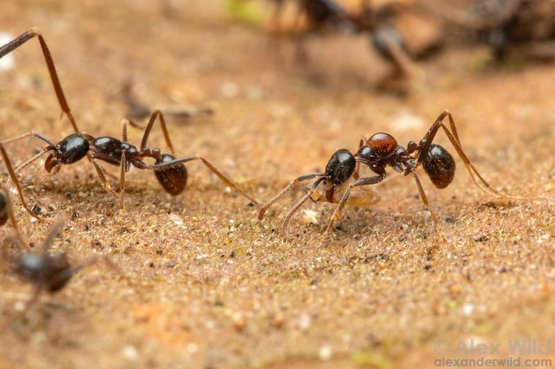 Labidus praedator with ant mite