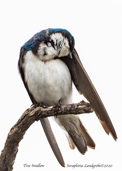 _DSC9122Tree Swallow Preening.jpg
