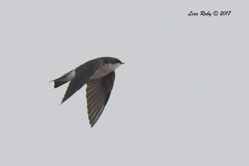 Tree Swallow - 11/12/2017 - Salt Works