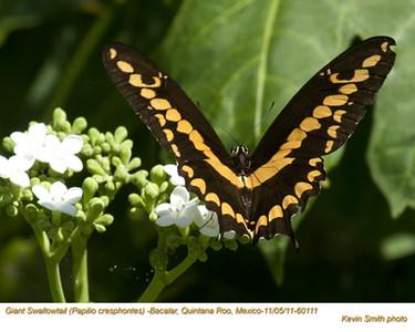 GiantSwallowtail60111.jpg