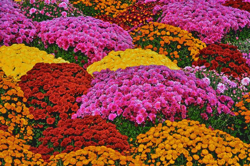 Chrysantemum ColorJoy