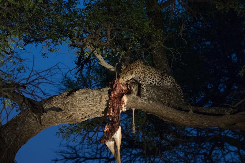 the leopard eating dinner