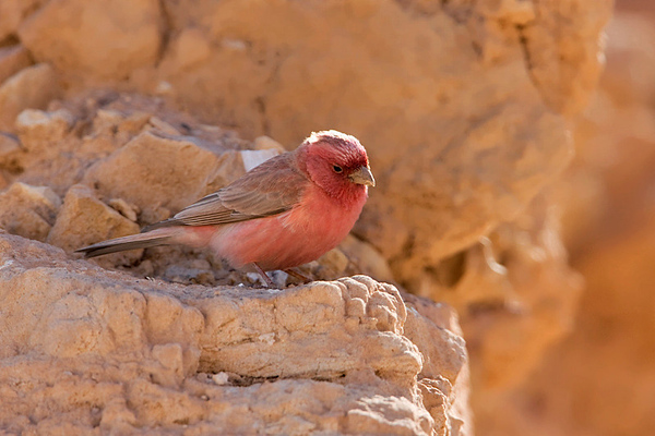 Sinai Rosefinch or Pale Rosefinch (Carpodacus synoicus)