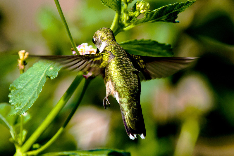 hummingbirdandlantana17.jpg