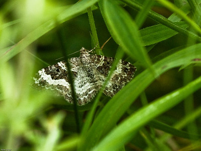Geometers(Geometridae)