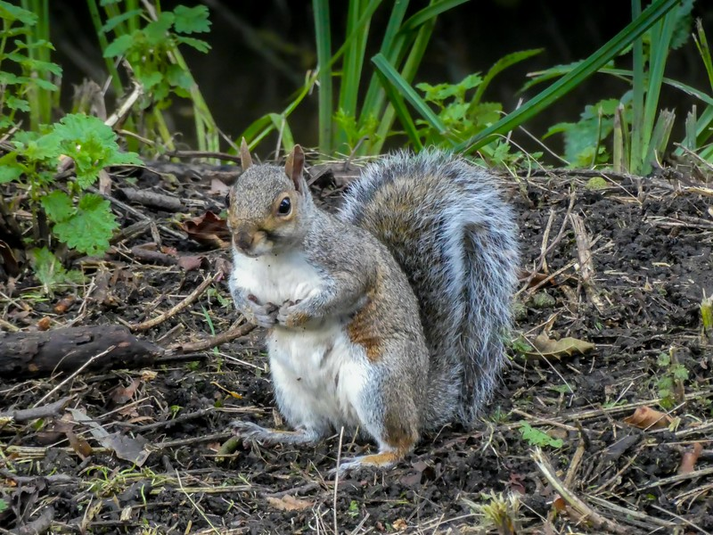 foraging squirrell