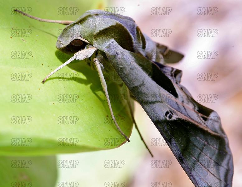 Pandora Sphinx Moth (Eumorpha pandorus).