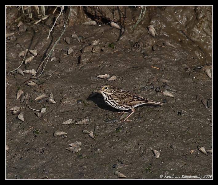 Savannah Sparrow, San Elijo Lagoon, San Elijo Nature Center, San Diego County, California, February 2009