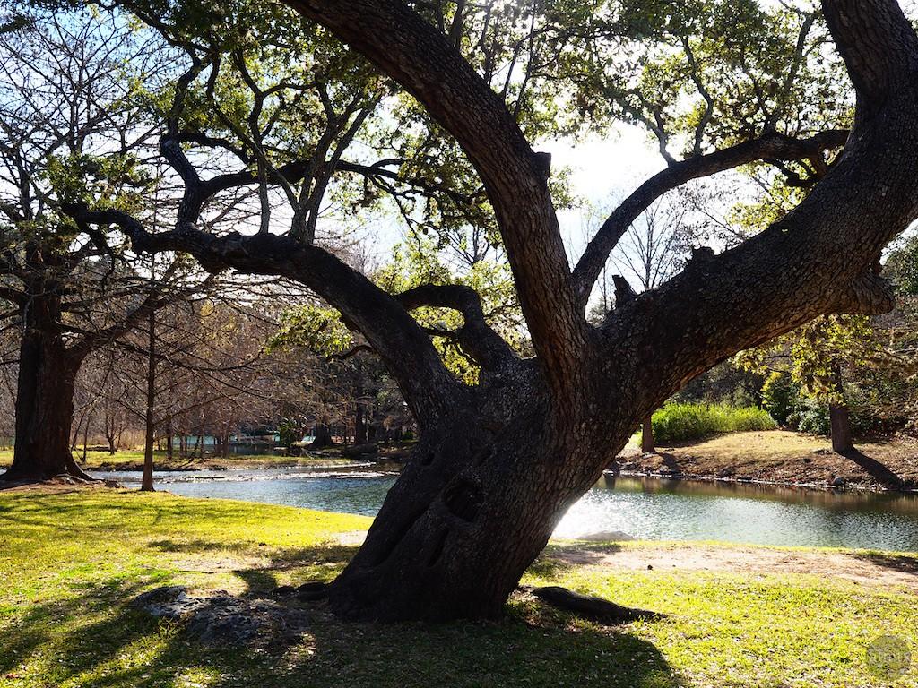 Giant Tree #1, Neighborhood Park - Austin, Texas