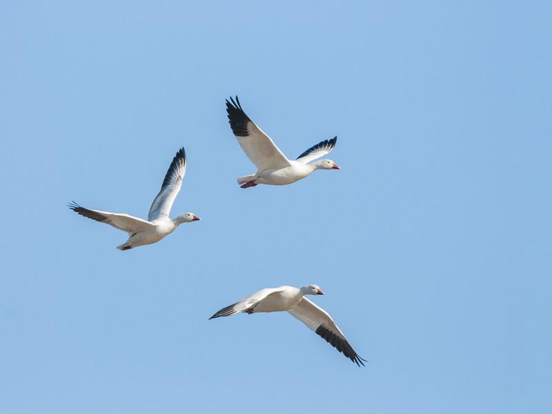 Snow Geese in Flight Nine.jpg