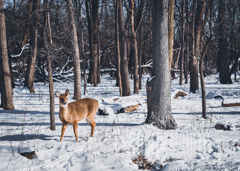 DeerIrvingParkjan2019-17.jpg