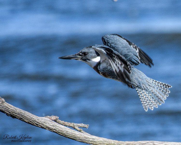 Belted Kingfisher-3656.jpg